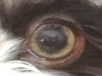 amber eyes (dilute)